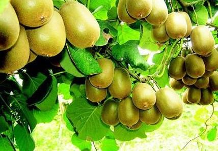 猕猴桃根线虫防治用什么药