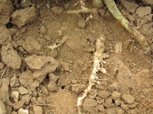 根肿病和根结线虫的区别在哪里
