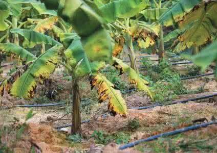 香蕉根线虫用什么药好