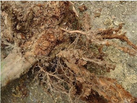 石榴树根感染根线虫有什么药可以根治
