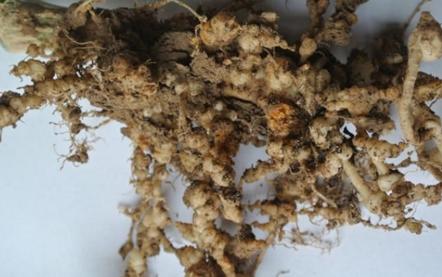 黄瓜根线虫危害状