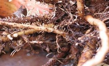 根线虫用水可以淹死吗