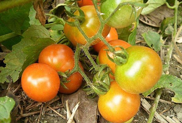 西红柿定植后杀线虫用什么药