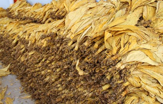 黄烟根线虫用什么药