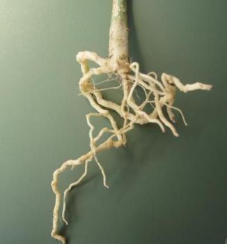 根线虫靠啥传播