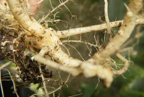 酸性土壤对根线虫有没有影响