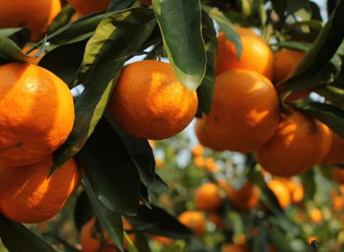 柑橘几月份杀线虫最有效