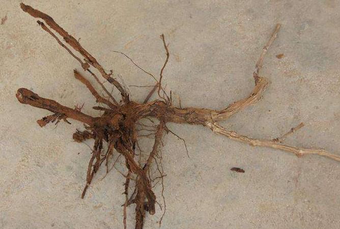 桑树根线虫用什么药