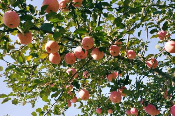 刮皮防治苹果树腐烂病和轮纹病,有哪些需要注意的要点?