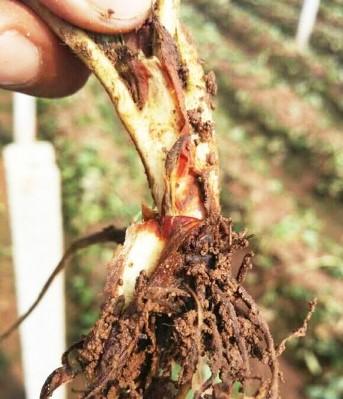 根腐病用什么药灌根