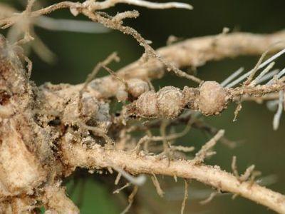 大豆胞囊线虫病11