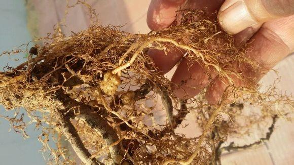 猕猴桃根结线虫用什么药能治