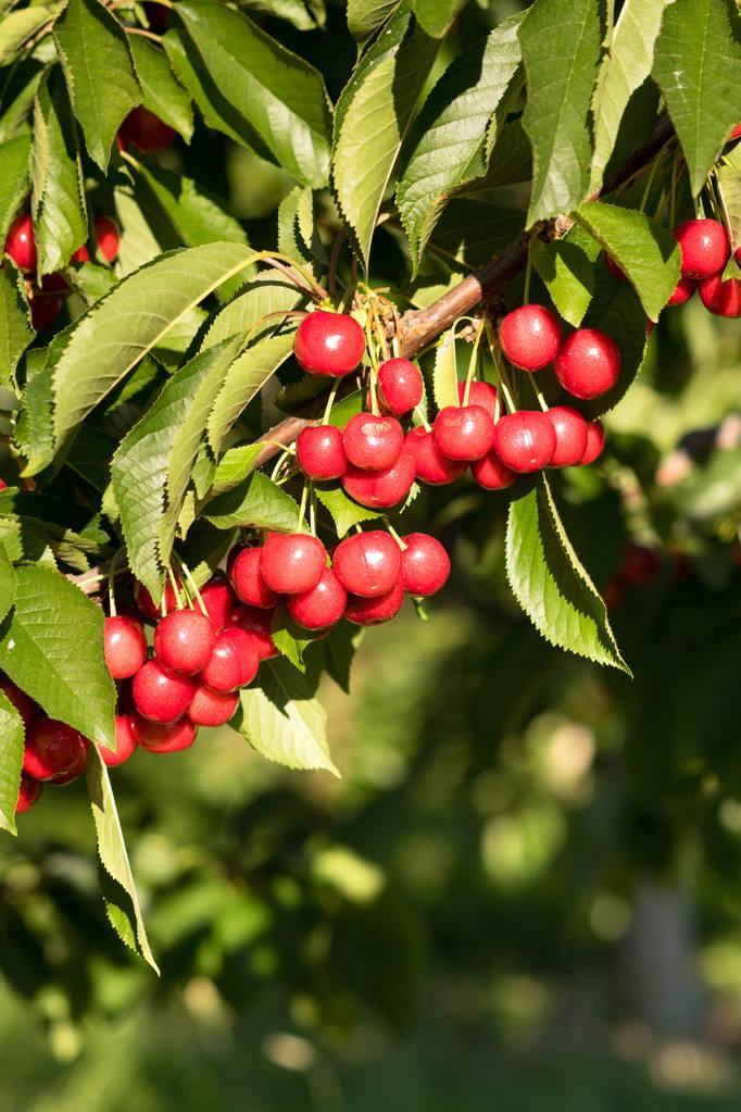 怕冷的甜樱桃,该如何度过寒冷的的冬季?