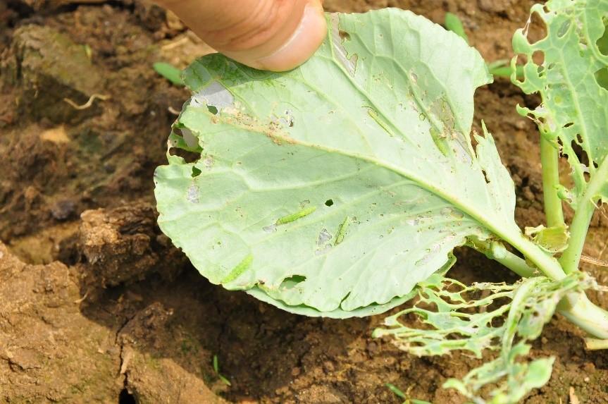小菜蛾的危害及防治方法